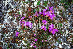 Lapland Rosebay blooms in the Arctic summer